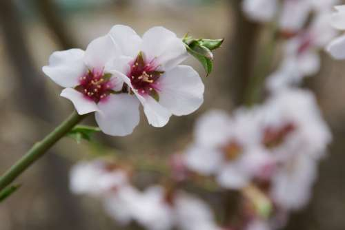 Blossoming Almond Spring Almond Nature Tree Season