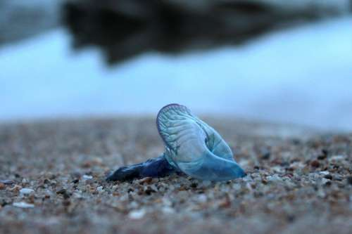 Blue Bottle Jellyfish Animal Nature Invertebrate