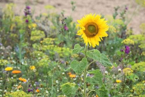 Blührandstreifen Sunflower Bee
