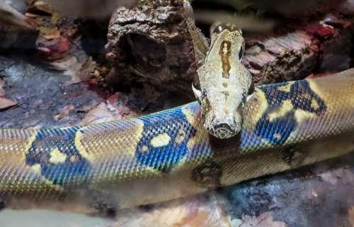 Boa Animal Snake Constrictor