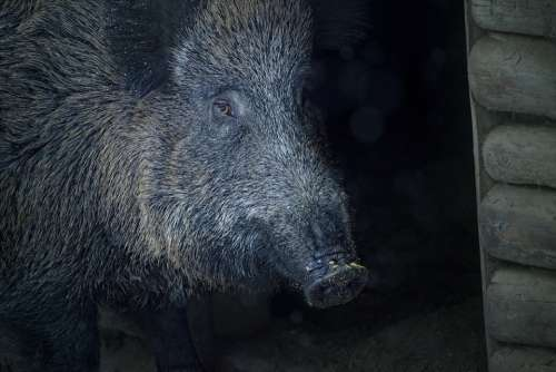 Boar Animal Bristles Sow Creature