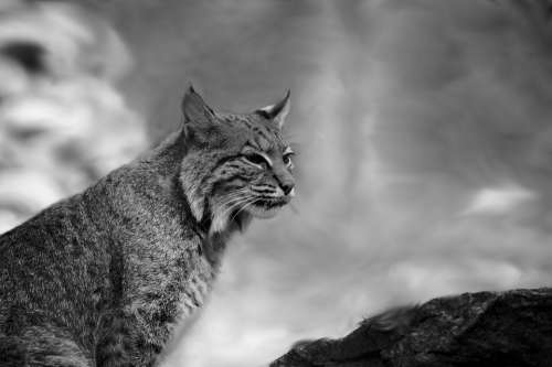 Bobcat Black And White Nature Wild Mountain Animal