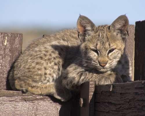 Bobcat Kitten Young Lynx Wildlife Predator Nature
