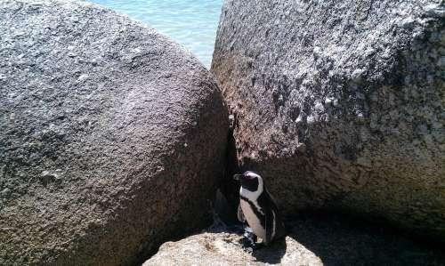 Bolders Beach South Africa Beach Penguin Cape Town