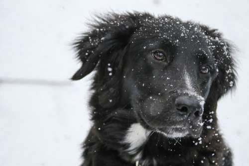 Border Collie Snowflakes Black Labrador Retriever