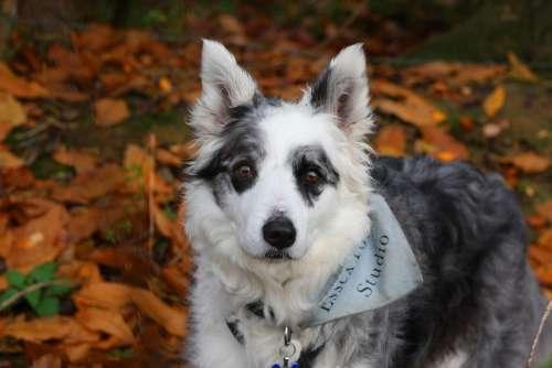 Border Collie Dog Collie Blue Merle Merle Pedigree