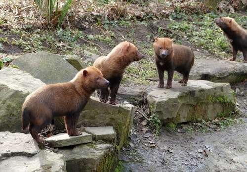 Boshond Dog South America Animal Mammal Hondachtig
