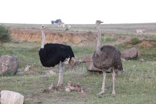 Bouquet Ostriches Bird Flightless Bird