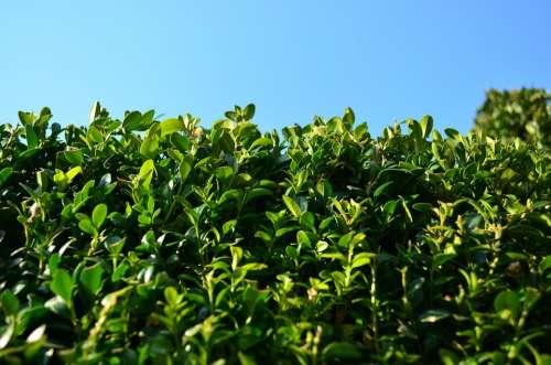 Boxwood Foliage Evergreen Green