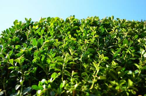 Boxwood Foliage Evergreen Green