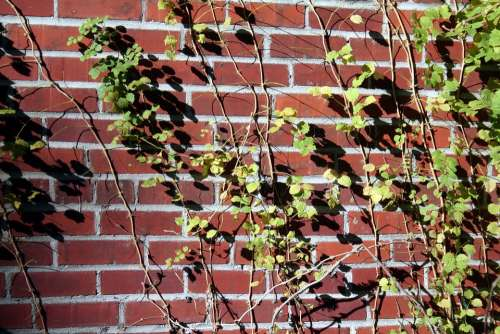 Brick Wall Vines Ivy Building Old Architecture