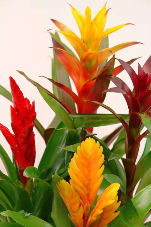Bromeliads Guzmania Red Yellow Green Bromeliaceae