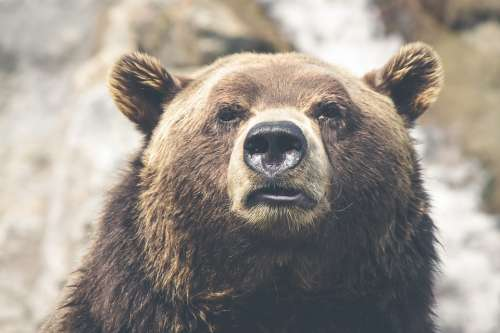 Brown Bear Grizzly Canada Mammal Animal Brown