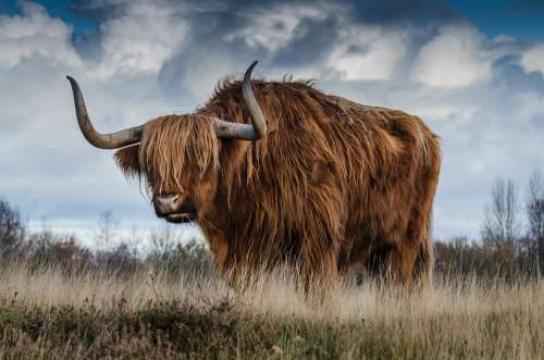 Bull Cattle Livestock Nature Mammal Animal Meadow