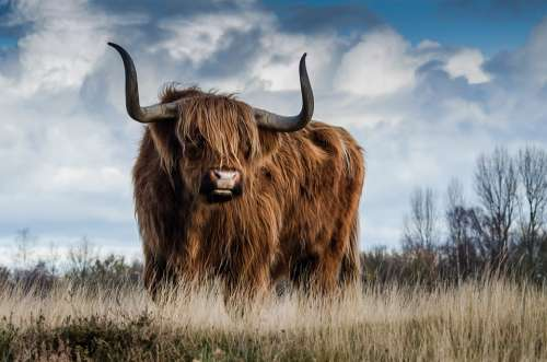 Bull Landscape Nature Mammal Animal Meadow Cattle