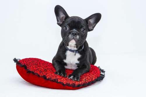 Bulldog Puppy Dog Pet Sweet Black