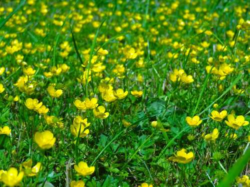 Buttercup Flower Meadow Meadow Spring Pasture