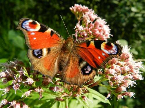 Butterfly Wings Red Flowers Insect Animal Fauna