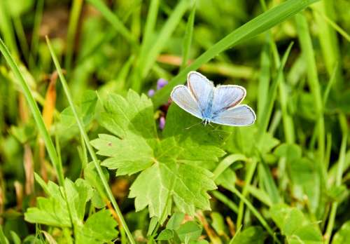 Butterfly Common Blue Common Bläuling Butterflies