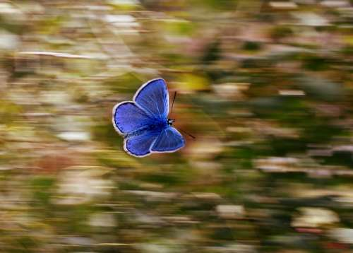 Butterfly Blue Wings Flight Insect Nature