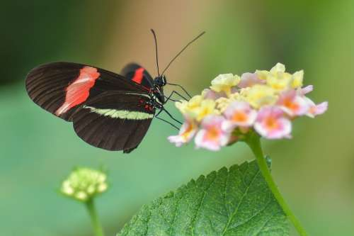 Butterfly Black Insect Flower