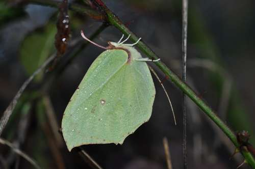 Butterfly Brimstone Winter Bug Wings Nature