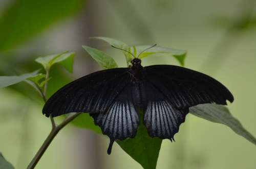 Butterfly Nature Black Tropical Green Wildlife