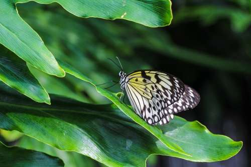 Butterfly Insect Nature Leaf