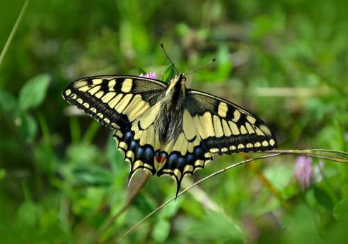 Butterfly Dovetail Papilio Machaon Nature Insect