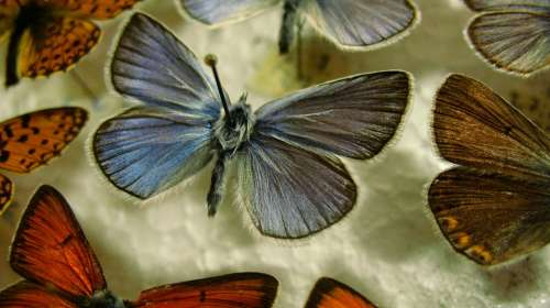 Butterfly Blue Pinned Wing Insect Macro Natural