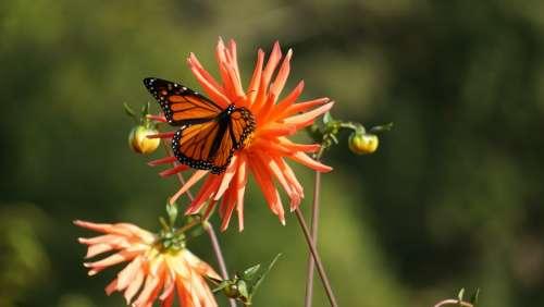 Butterfly Butterflies Nature Flower Monarch Garden