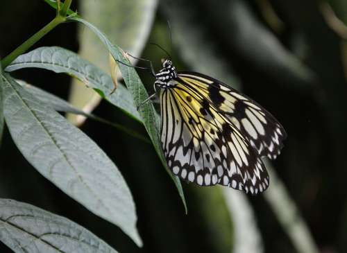 Butterfly Yellow White Close Up Wing Insect Leaf