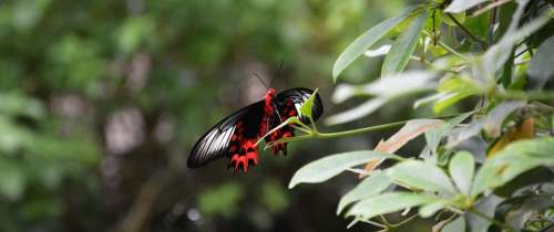 Butterfly Wing Nature Insect Red Bottom Black