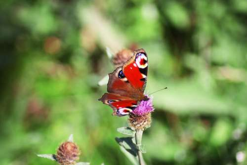 Butterfly Alps Nature Mountain Flowers Insect
