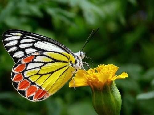 Butterfly Common Jezebel Flower Greenery Flora