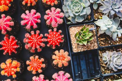 Cacti Plants Pot Plants Succulent Plants