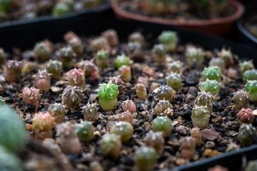 Cacti Cactus Astrophytum Seeds Plants Green