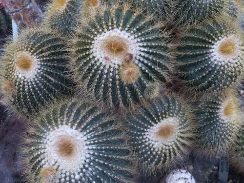 Cactus Plant Prickly Nature Close Up Desert Spur