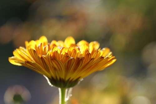 Calendula Marigold Medicinal Plant Nature Plant