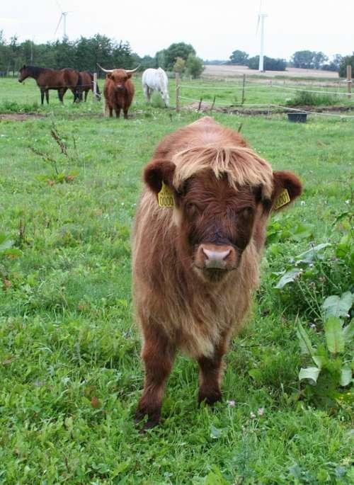 Calf Highland Cattle Cattle Scottish Highland Cattle