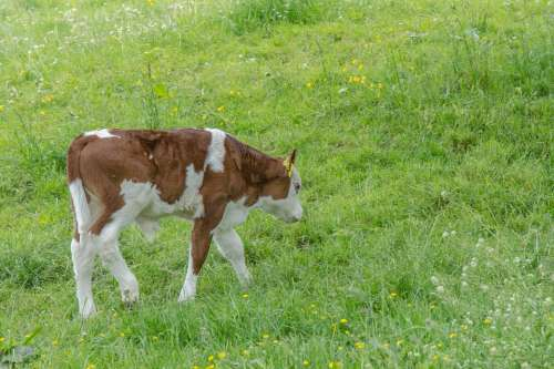 Calf Cow Meadow Agriculture Beef Young Animal