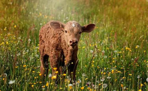 Calf Brown Reddish Small Sweet Meadow Out Nature
