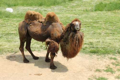Camel Humps Zoo Animal