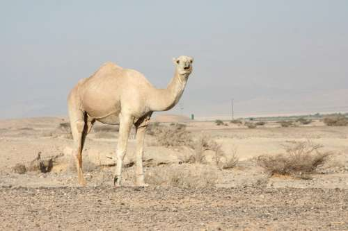 Camel Dromedary One Hump Wildlife Sand Wilderness