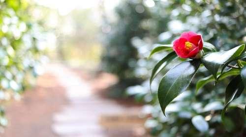 Camellia Flower Road Camellia Flower Winter