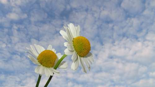 Camomile Flowers Nature Plant Summer Beauty Sky
