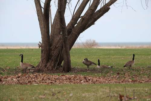 Canada Geese Michigan Bay City Landscape