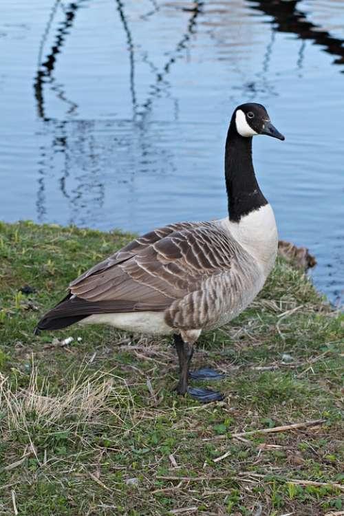 Canada Goose Goose Geese Gislaved