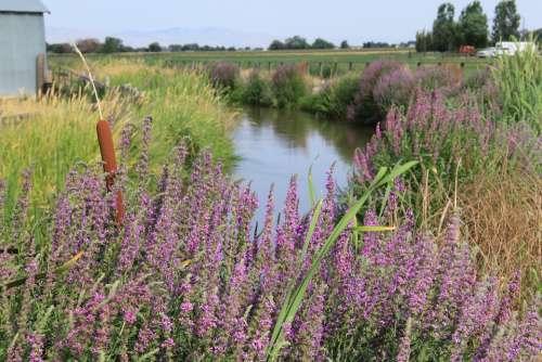 Canal Creek Summer Tall Grass Purple Cat Tails