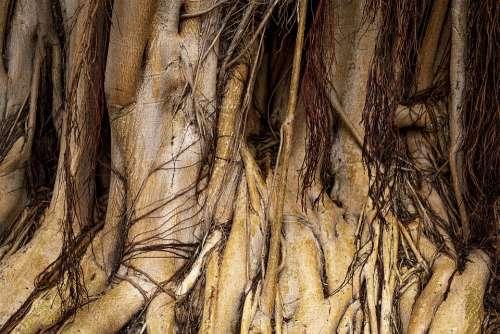 Canary Islands Root Ficus Tree Gran Canaria